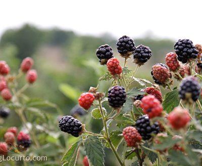 Blackberry Picking & Cobbler