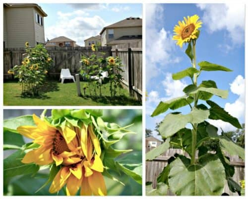 Make Your Own Sunflower Room by Kids Activities Blog - Home and Garden DIY Ideas for Living Creative Thursday on LivingLocurto.com
