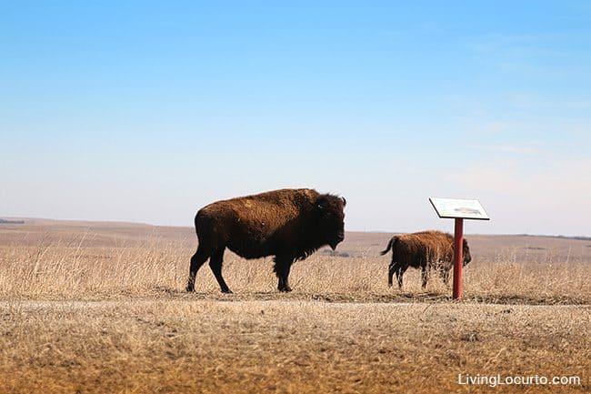 Top 3 Favorite Things to do in Oklahoma. Travel Tips - Tallgrass Prairie Preserve Pawhuska