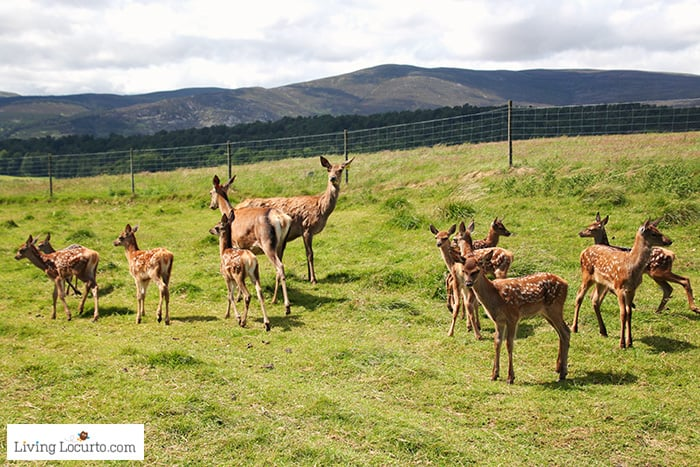 Red Deer in Scotland. 5 Best Outdoor Scotland Family Vacation Ideas! Amazing nature trips in Scotland for families. Kid friendly Scottish highlands vacation ideas and travel tips.
