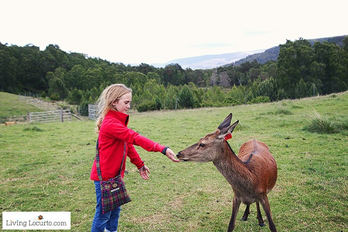 Feed the Red Deer in Cairngorms National Park. 5 Best Outdoor Scotland Family Vacation Ideas! Amazing nature trips in Scotland for families. Kid friendly Scottish highlands vacation ideas and travel tips.